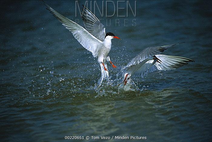 Common Tern (Sterna hirundo) pair diving for and catching fish, Long Island, New York  -  Tom Vezo