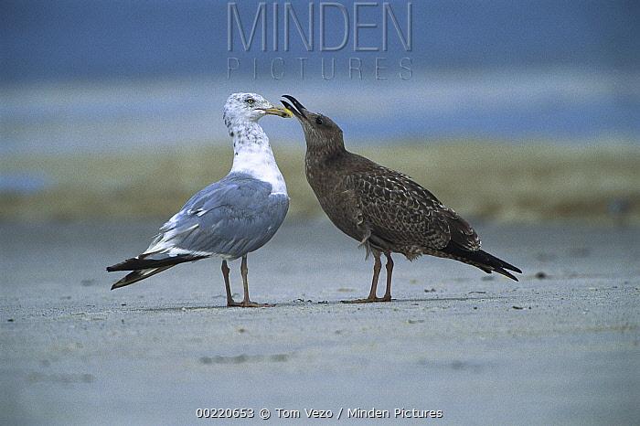 Herring Gull (Larus argentatus) adult and juvenile, Long Island, New York  -  Tom Vezo