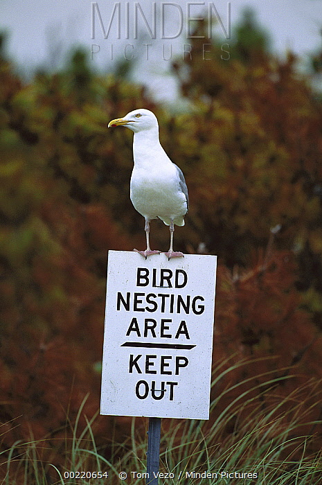 Herring Gull (Larus argentatus) adult perched on 'Keep Out' sign, Long Island, New York  -  Tom Vezo