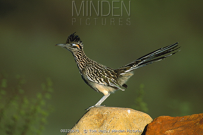 Greater Roadrunner (Geococcyx californianus) perched on rock, Green Valley, Arizona  -  Tom Vezo