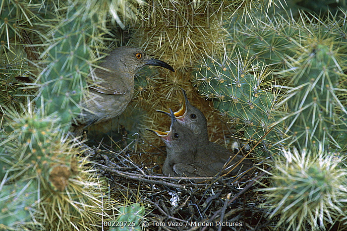 Curve-billed Thrasher (Toxostoma curvirostre) parent feeding young in nest in a cactus, Green Valley, Arizona  -  Tom Vezo