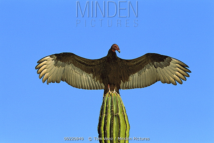 Turkey Vulture (Cathartes aura) perching on Cardon (Pachycereus pringlei) cactus, sunning itself with wings spread, Sonora, Mexico  -  Tom Vezo