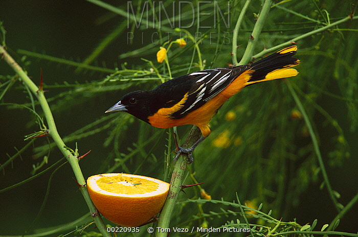 Baltimore Oriole (Icterus galbula) male feeding on orange, Rio Grande Valley, Texas  -  Tom Vezo