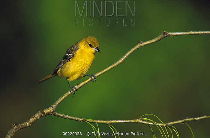 Baltimore Oriole (Icterus galbula) female perching, Rio Grande Valley, Texas  -  Tom Vezo