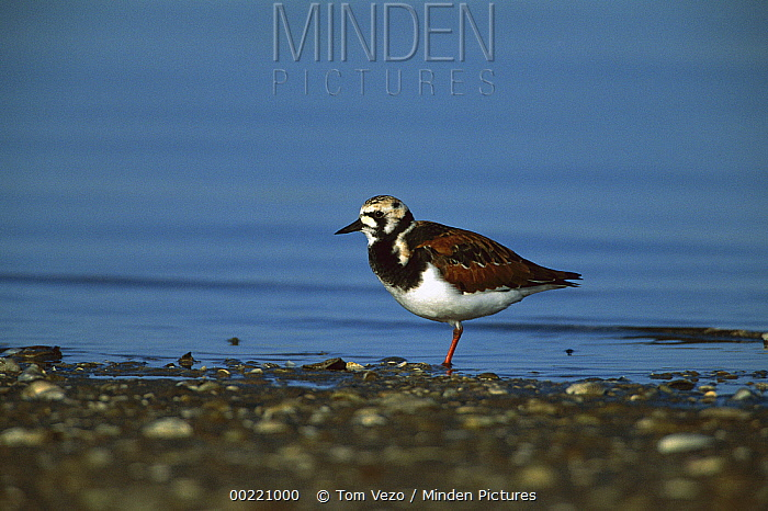 Ruddy Turnstone (Arenaria interpres) adult standing on shore, South Padre Island, Texas  -  Tom Vezo