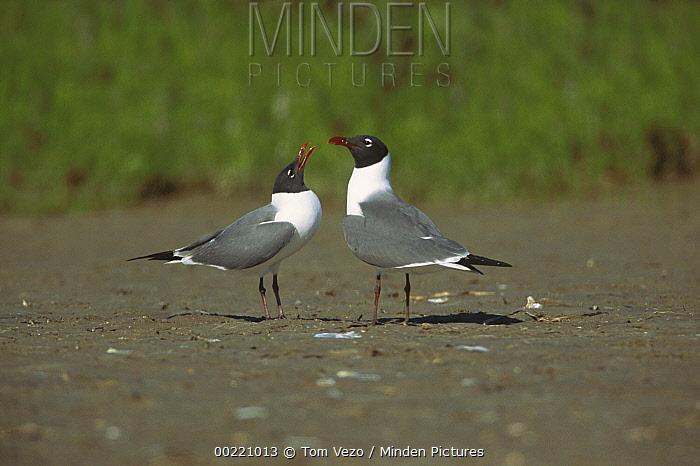 Laughing Gull (Leucophaeus atricilla) courtship display, South Padre Island, Texas  -  Tom Vezo