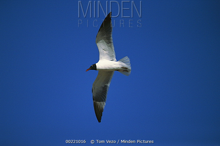 Laughing Gull (Leucophaeus atricilla) flying, South Padre Island Texas  -  Tom Vezo