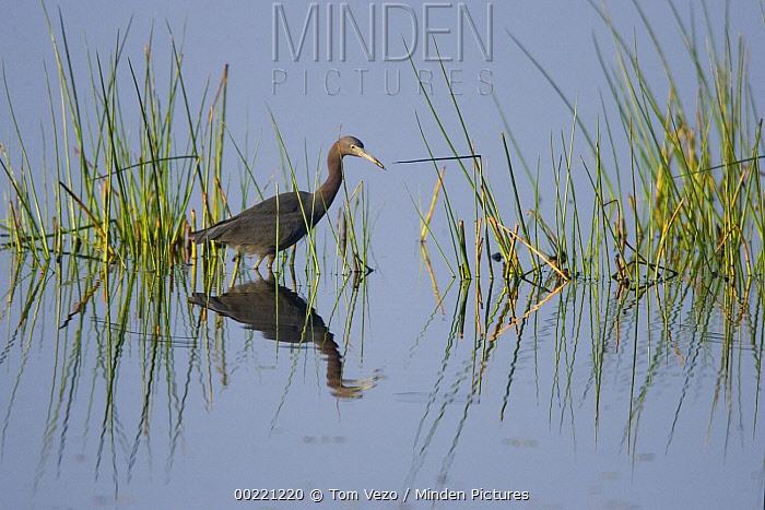 Little Blue Heron (Egretta caerulea) wading through wetland, Rio Grande Valley, Texas  -  Tom Vezo