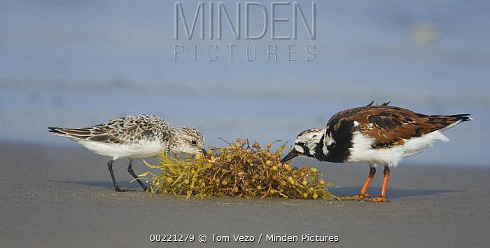 Ruddy Turnstone (Arenaria interpres) and Sanderling (Calidris alba) feeding on seaweed, Rio Grande Valley, Texas  -  Tom Vezo