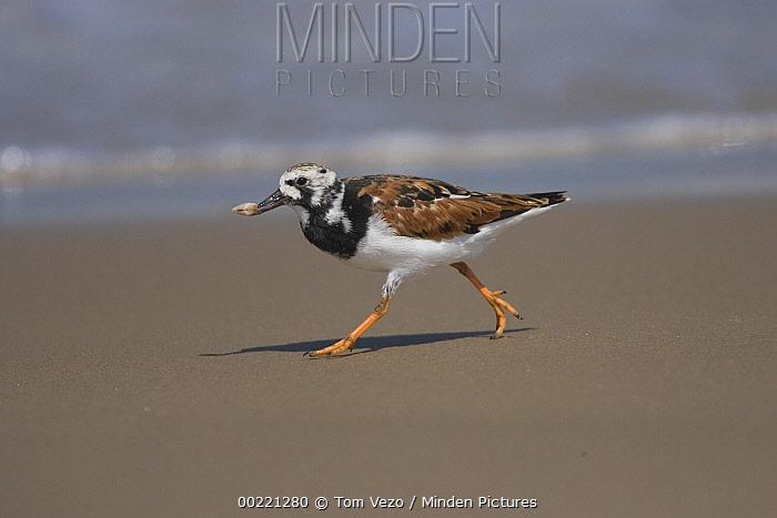 Ruddy Turnstone (Arenaria interpres) running on beach, Rio Grande Valley, Texas  -  Tom Vezo