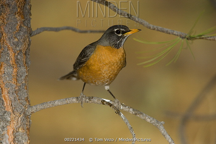 American Robin (Turdus migratorius) portrait, White Mountains, Arizona  -  Tom Vezo