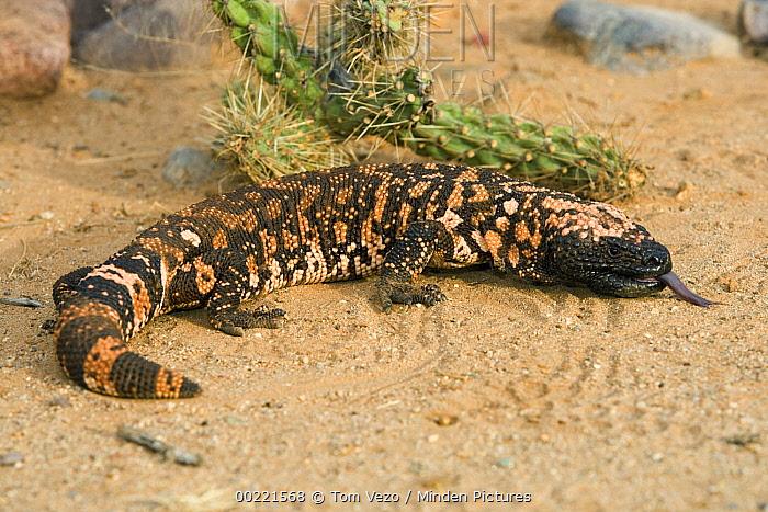 Gila Monster (Heloderma suspectum), Sonoran Desert, Arizona  -  Tom Vezo