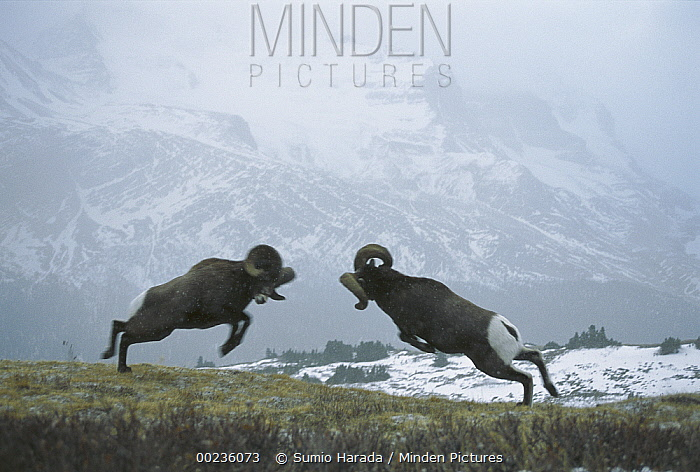 Bighorn Sheep (Ovis canadensis) males butting heads to compete for females, Rocky Mountains, North America  -  Sumio Harada