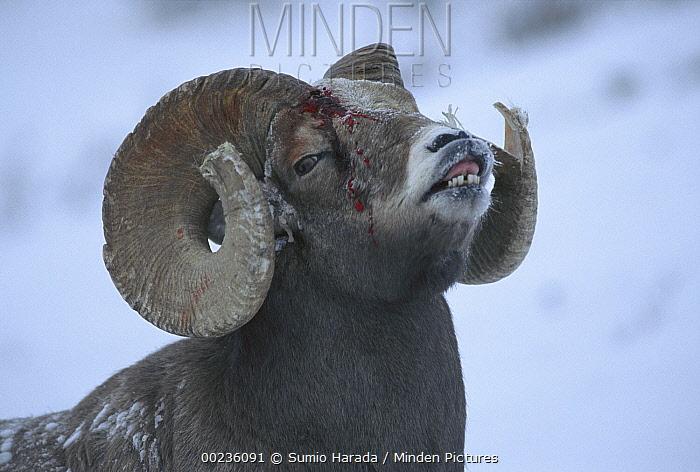 Horn Minden minden pictures stock photos bighorn sheep ovis canadensis