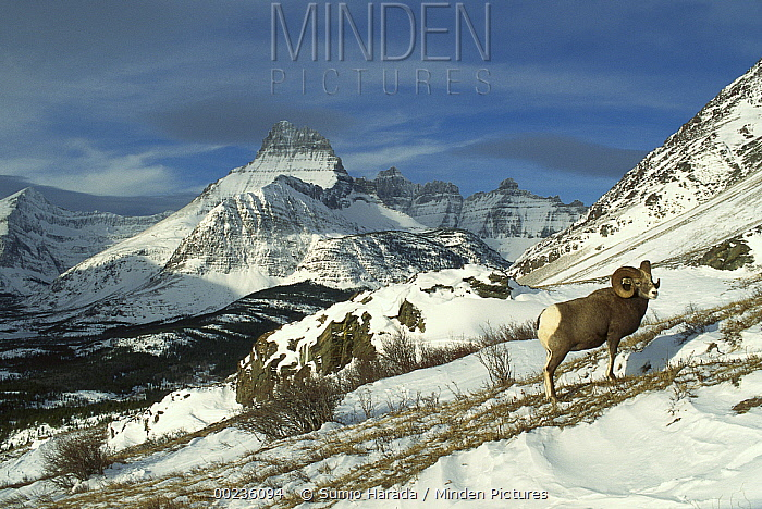 Bighorn Sheep (Ovis canadensis) male on snowy mountainside, Rocky Mountains, North America  -  Sumio Harada
