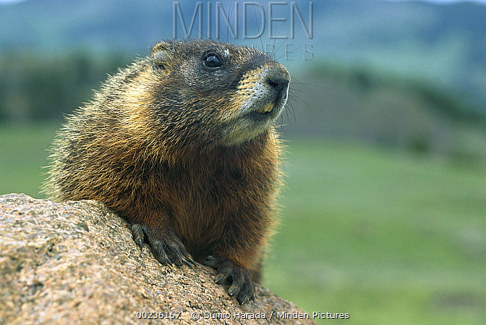 Yellow-bellied Marmot (Marmota flaviventris) portrait, Rocky Mountains, North America  -  Sumio Harada