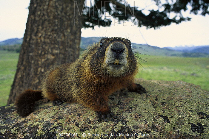 Yellow-bellied Marmot (Marmota flaviventris) laying on lichen covered rock, Rocky Mountains, North America  -  Sumio Harada