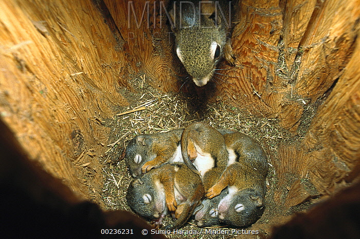 Red Squirrel (Tamiasciurus hudsonicus) mother returning to her 35 day old babies in nest to nurse them, Rocky Mountains, North America  -  Sumio Harada