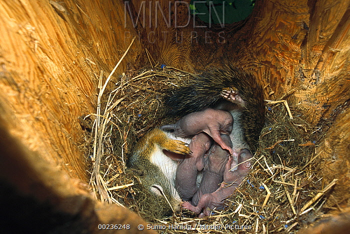 Red Squirrel (Tamiasciurus hudsonicus) mother nursing her 15 day old babies in nest, Rocky Mountains, North America  -  Sumio Harada