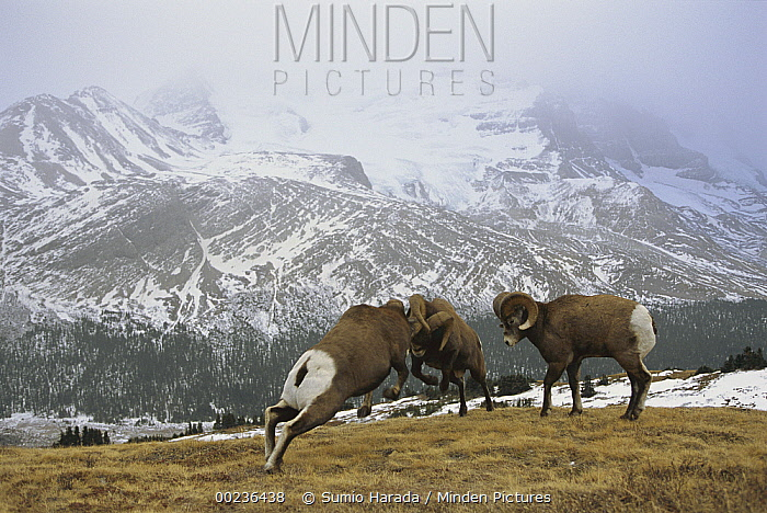 Bighorn Sheep (Ovis canadensis) males butting heads while a third looks on, Rocky Mountains, North America  -  Sumio Harada