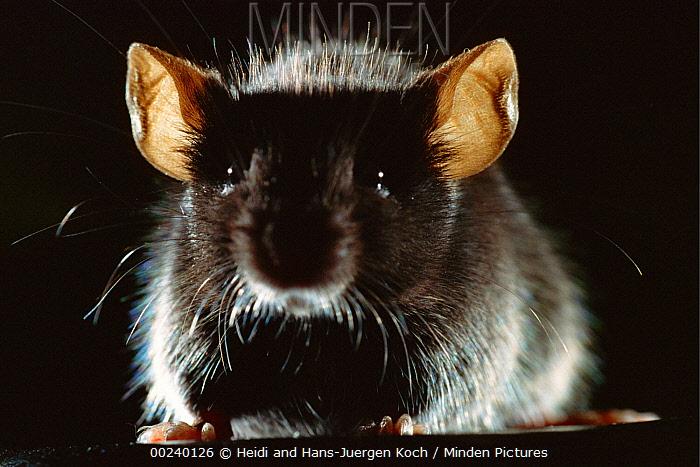 Lab mouse (Mus musculus), tribe C57bi, male sitting  -  Heidi & Hans-Juergen Koch