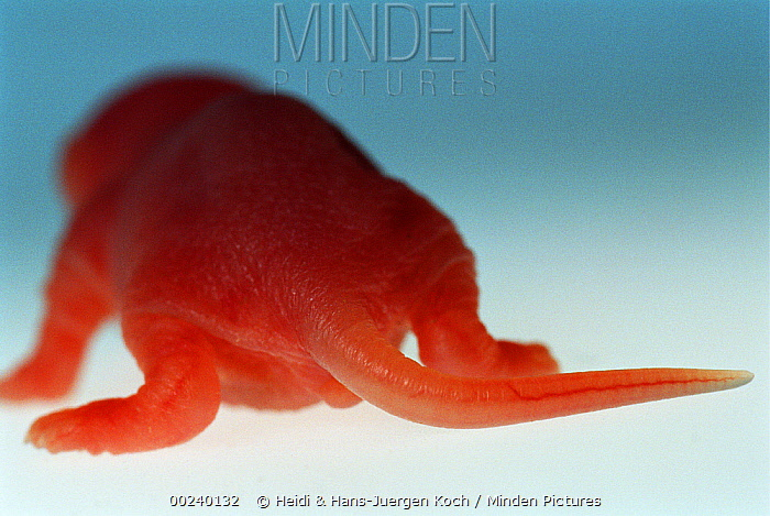 Lab mouse (Mus musculus), tribe Balbc, back view of a one day old, hairless newborn  -  Heidi & Hans-Juergen Koch