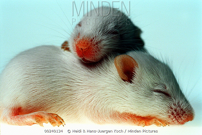 Lab mice (Mus musculus), tribe Balbc, two 13 day old babies with their eyes still closed, one laying over the back of the other  -  Heidi & Hans-Juergen Koch