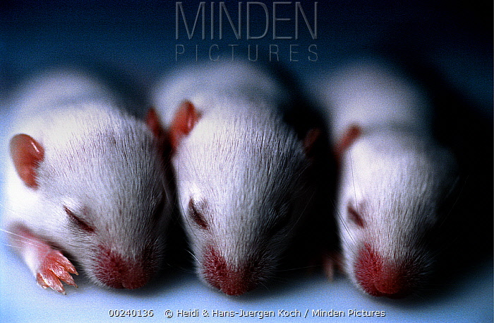 Lab mice (Mus musculus), tribe Balbc, three 13 day old babies with eyes still closed, laying side by side  -  Heidi & Hans-Juergen Koch