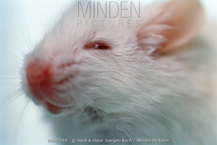 Lab mouse (Mus musculus), tribe Balbc, 19 day old baby has just opened his eyes for the first time  -  Heidi & Hans-Juergen Koch