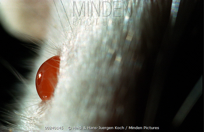 Lab mouse (Mus musculus), tribe Balbc, close up of mouse's right eye  -  Heidi & Hans-Juergen Koch