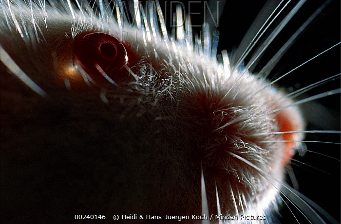 Lab mouse (Mus musculus), tribe Balbc, close up of eyes, nose, whiskers  -  Heidi & Hans-Juergen Koch