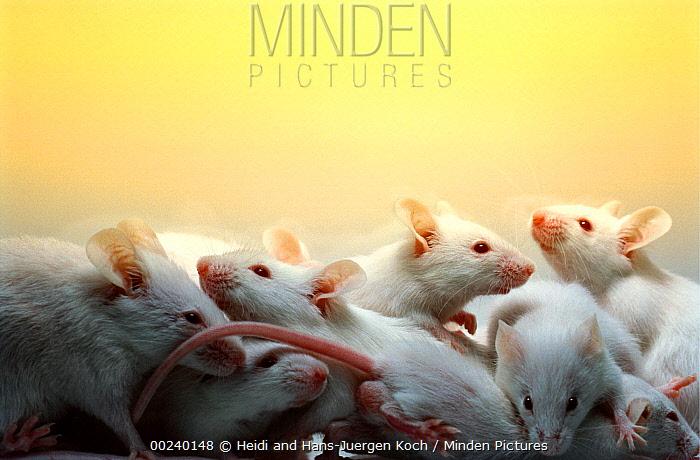 Lab mice (Mus musculus), tribe Balbc, mice family together  -  Heidi & Hans-Juergen Koch