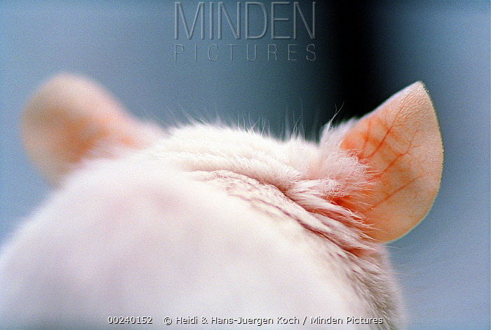 Lab mouse (Mus musculus), tribe Balbc, close up of ears from the back  -  Heidi & Hans-Juergen Koch