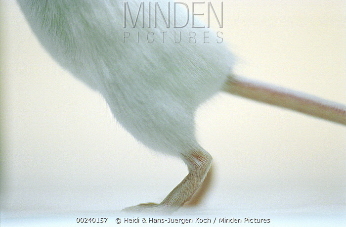 Lab mouse (Mus musculus), tribe Balbc, close up of back, feet and tail of a mouse standing on its hind feet  -  Heidi & Hans-Juergen Koch