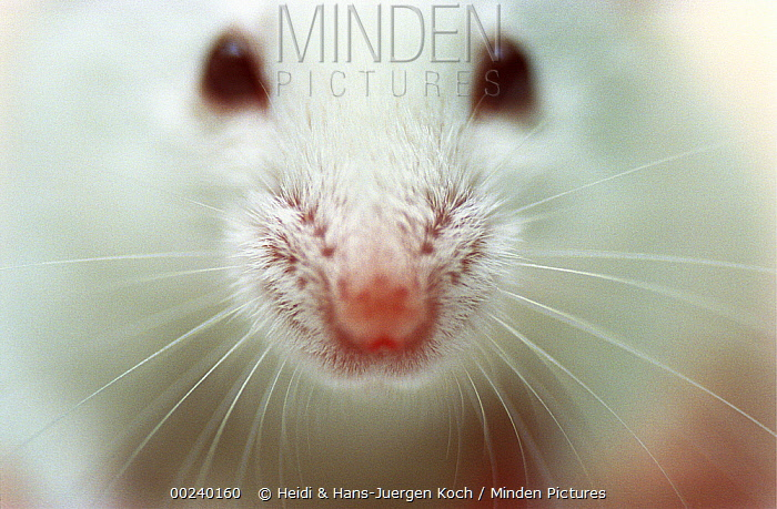 Lab mouse (Mus musculus), tribe Balbc, close up of eyes and nose  -  Heidi & Hans-Juergen Koch