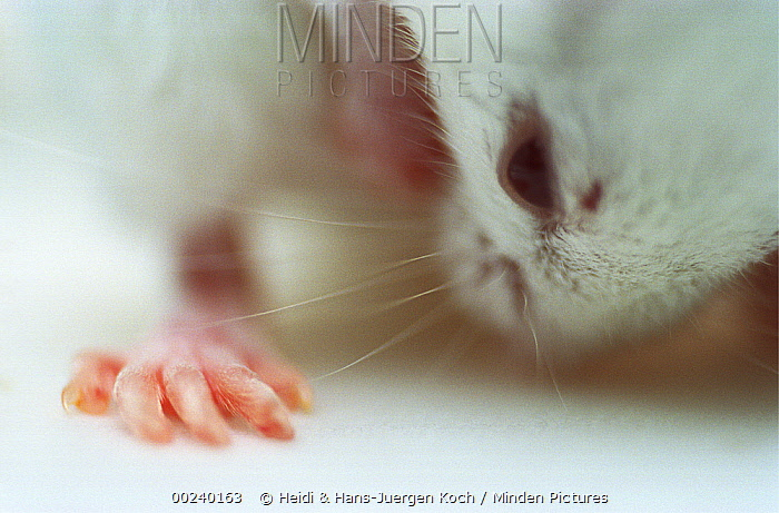 Lab mouse (Mus musculus), tribe Balbc, sitting and cleaning the fur between its legs  -  Heidi & Hans-Juergen Koch