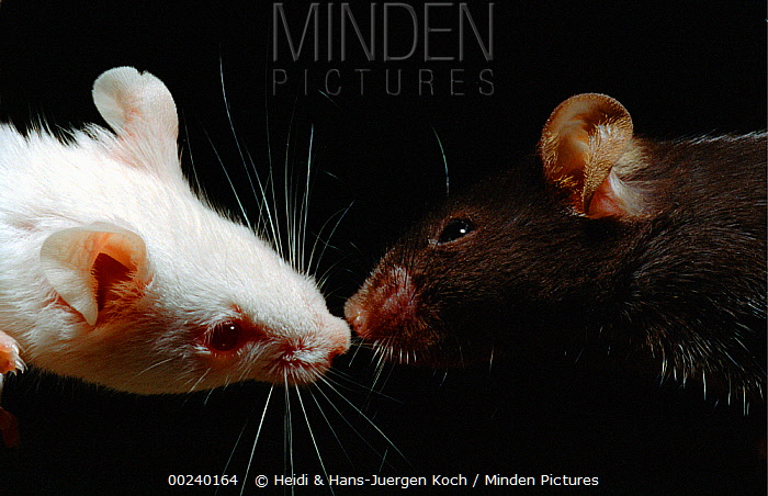 Lab mice (Mus musculus), left tribe Balbc, right tribe C57bi, pair making first contact, sniffing at each others nose  -  Heidi & Hans-Juergen Koch