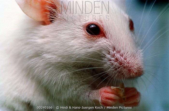 Lab mouse (Mus musculus), tribe Balbc, holding food between its front feet  -  Heidi & Hans-Juergen Koch