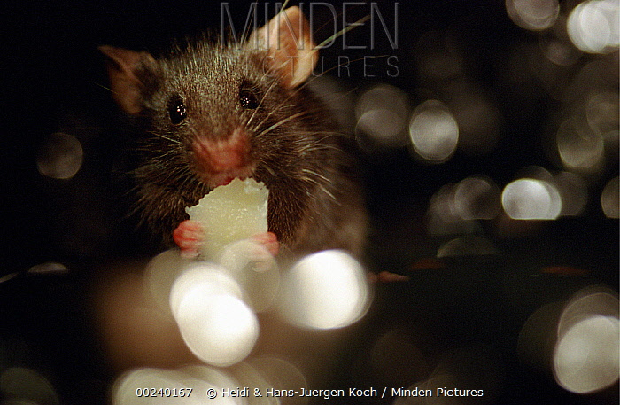 Lab mouse (Mus musculus), tribe C57bi, feeding on parmesan cheese, holding it between its front feet  -  Heidi & Hans-Juergen Koch