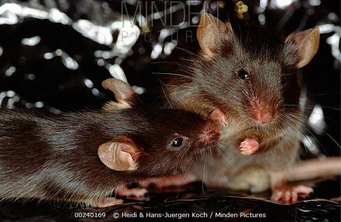 Lab mice (Mus musculus), tribe C57bi, male on left, bothering female who is in defensive body posture  -  Heidi & Hans-Juergen Koch