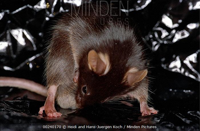 Lab mouse (Mus musculus), tribe C57bi, male cleaning itself  -  Heidi & Hans-Juergen Koch