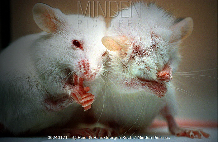 Lab mice (Mus musculus), tribe Balbc, two three week old babies, cleaning their feet and faces  -  Heidi & Hans-Juergen Koch
