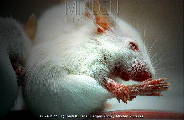 Lab mice (Mus musculus), tribe Balbc, three week old baby cleaning its right hind foot  -  Heidi & Hans-Juergen Koch