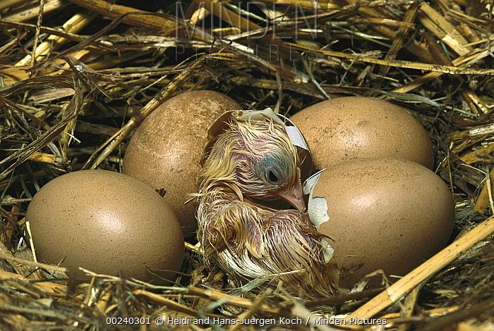 Domestic Chicken (Gallus domesticus) chick hatching from egg in nest, northern Germany  -  Heidi & Hans-Juergen Koch