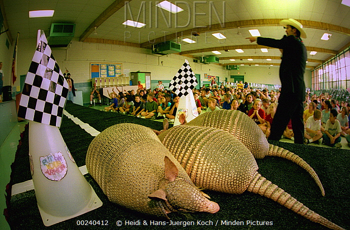 Nine-banded Armadillo (Dasypus novemcinctus) three in front of school children in a classroom as part of a presentation by preacher/entertainer Armadillo Jim, New Braunfels, Texas  -  Heidi & Hans-Juergen Koch