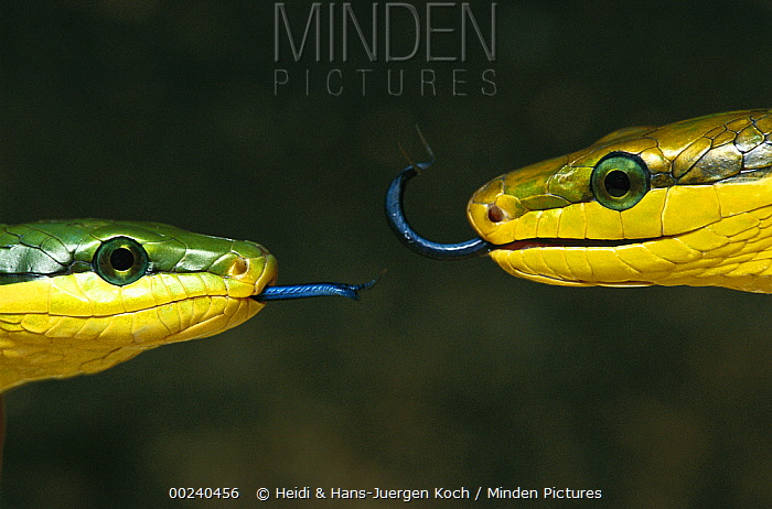 Colubrid Snake (Elaphe sp) two making initial contact, using tongue (Nasovomeral sense) to identify friend, enemy, or prey  -  Heidi & Hans-Juergen Koch