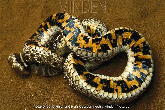 Hog-nosed Snake (Heterodon sp) defensive behavior, rolling on back to display warning colors on underside, native to North America  -  Heidi & Hans-Juergen Koch