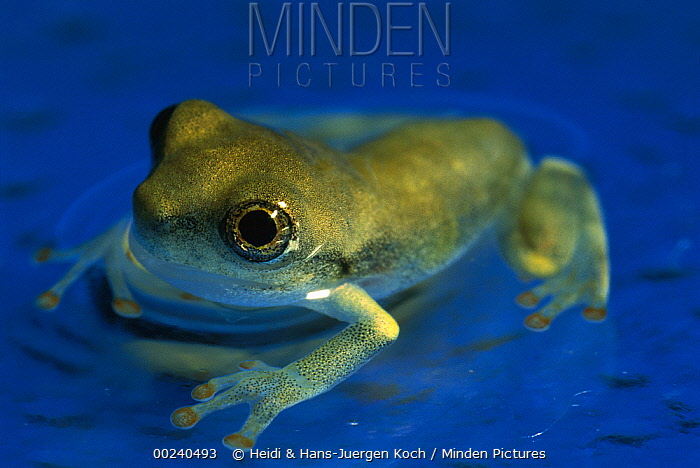 Cayenne Slender-legged Tree Frog (Osteocephalus leprieurii) completely developed young frog sitting in shallow water, native to South America  -  Heidi & Hans-Juergen Koch