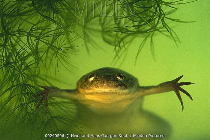 African Clawed Frog (Xenopus laevis), native to Africa  -  Heidi & Hans-Juergen Koch