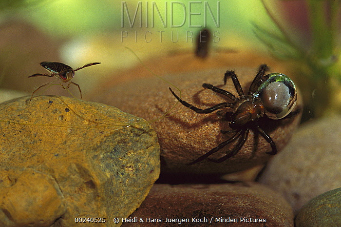 Water Spider (Argyroneta aquatica) walking over stones in the water, hairs on abdomen have trapped air which gives the animal a silvery appearance, note water boatman on left, native to Europe  -  Heidi & Hans-Juergen Koch